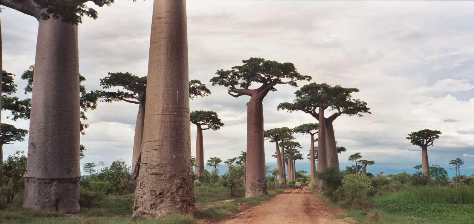 نباتات مدغشقر, بروفايل نيوز - Profile News