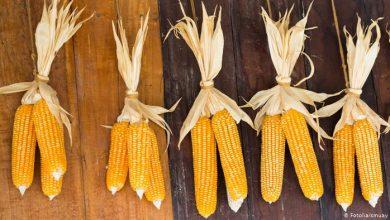 Benefits of boiled yellow corn, Arabic newspaper in Boston-USA-Profile News