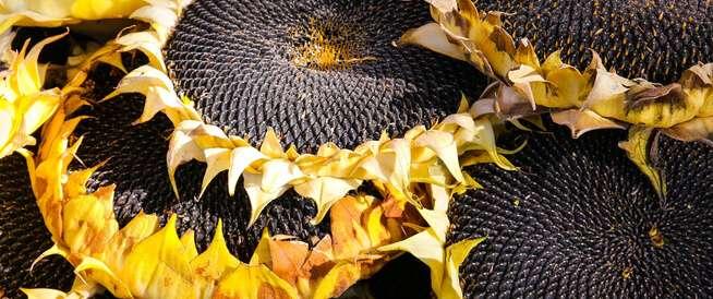 sunflower seeds important benefits, Arabic newspaper in Boston-USA-Profile News